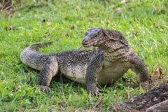 Un lagarto de monitor escalado grande en un parque en Tailandia está cazando en la hierba fotos de archivo libres de regalías