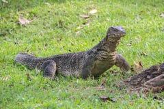 Un lagarto de monitor escalado grande en un parque en Tailandia está cazando en la hierba imagen de archivo