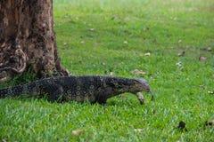 Un lagarto de monitor escalado grande en un parque en Tailandia está cazando en la hierba imágenes de archivo libres de regalías