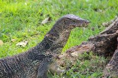 Un lagarto de monitor escalado grande en un parque en Tailandia está cazando en la hierba foto de archivo