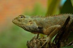 Un lagarto del jardín imagenes de archivo