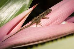 Un lagarto en una flor de las bromelias Fotos de archivo