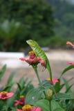 Un lagarto hermoso del jardín Foto de archivo