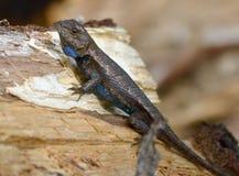 Un lagarto hinchado azul Imagen de archivo
