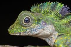 Un lagarto masculino de la cabeza del ángulo, grandis de Gonocephalus imagen de archivo