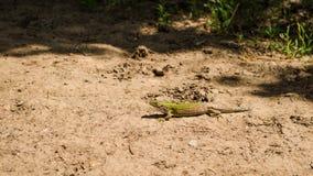 Un lagarto medio dormido lindo en naturaleza Imágenes de archivo libres de regalías