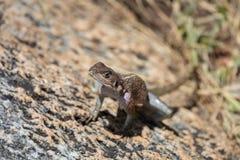 Un lagarto que se sienta en una roca fotos de archivo libres de regalías
