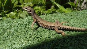 Un lagarto que toma el sol y que presenta para una foto foto de archivo