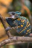 Un lagarto velado del camaleón Fotos de archivo