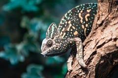 Un lagarto velado del camaleón Imagen de archivo