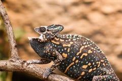 Un lagarto velado del camaleón Imagen de archivo libre de regalías