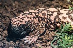 Un lagarto venenoso que miente en la tierra, haciendo frente al espectador Imágenes de archivo libres de regalías
