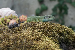 Un lagarto verde Fotos de archivo libres de regalías