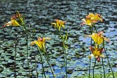 Un lago con l'emerocallide arancio Immagine Stock Libera da Diritti