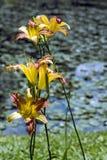 Un lago con l'emerocallide arancio Fotografie Stock