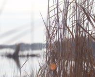 Un lago con le canne all'alba in autunno Fotografia Stock
