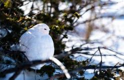 Un lagopède alpin Blanc-coupé la queue dans le plumage d'hiver se cachant dans les buissons du Colorado photos stock