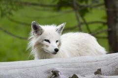 Un lagopus de Vulpes de renard arctique se tenant derrière un été d'ouverture au Canada photo stock