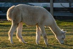 Un lama che pasce felicemente pacificamente in un recinto per bestiame, la contea di Lancaster, PA fotografia stock