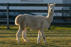 Un lama dans un corral clôturé, regardant directement la caméra, le comté de Lancaster, PA photographie stock libre de droits