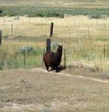 Un lama dans le Dakota du Sud Photos libres de droits