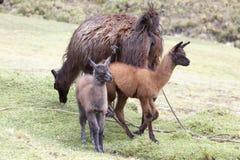 Un lama di due giovani con sua madre Fotografia Stock