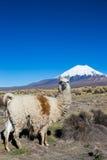 Un lama in montagne andine, parco di Sajama, Bolivia, Immagine Stock