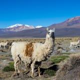 Un lama in montagne andine, parco di Sajama, Bolivia, Fotografia Stock Libera da Diritti
