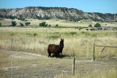 Un lama nel Dakota del Sud Fotografie Stock