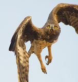 Un lanzamiento marcial del águila Fotografía de archivo libre de regalías