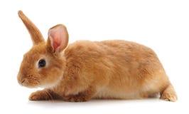 Un lapin brun images stock
