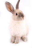 Un lapin d'isolement Photos stock