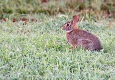 Un lapin de bébé dans l'herbe humide pendant le début de la matinée photos libres de droits