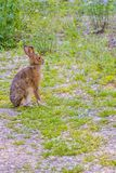 Un lapin du ` s d'Audubon dans le St de Mackinac Deerland Ignace, Michigan photos stock