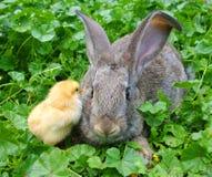 Un lapin et un poulet Photographie stock