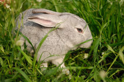 Un lapin gris dans l'herbe Photos stock