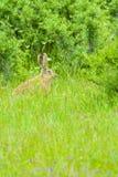 Un lapin sauvage dans l'herbe Image stock