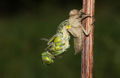Un large depressa bodied de Libellula de libellule de chasseur émergeant de derrière de la nymphe images stock