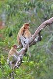 Un larvatus femenino del Nasalis del mono de probóscide que alimenta un cachorro en el árbol Fotografía de archivo
