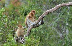 Un larvatus femenino del Nasalis del mono de probóscide que alimenta un cachorro en el árbol en un hábitat natural Imagen de archivo libre de regalías