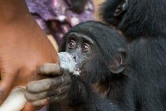 Un latte alimentare del bonobo del bambino da una bottiglia Il Republic Of The Congo Democratic Parco nazionale del BONOBO di Lol Immagine Stock