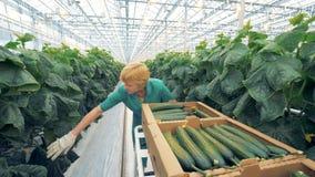 Un lavoratore che cerca i cetrioli sulle piante stock footage