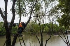 Un lavoratore che installa accendendo le lampade decorative su un albero di salice Immagini Stock Libere da Diritti