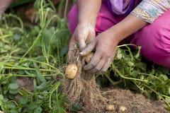 Un lavoratore del bambino allo sguardo nel campo della piantagione della patata in Thakurgong, Bangladesh Raccogliendosi le patat Fotografia Stock
