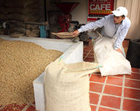 Un lavoratore del caffè che raccoglie i fagioli in sacchi della iuta Fotografie Stock