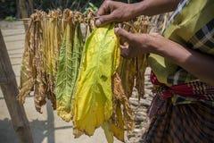 Un lavoratore del tabacco aveva seminato la foglia in Dacca, il manikganj, Bangladesh del tabacco Fotografia Stock