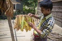 Un lavoratore del tabacco aveva seminato la foglia in Dacca, il manikganj, Bangladesh del tabacco Immagini Stock Libere da Diritti