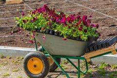 Un lavoro sulla piantatura delle piantine dei fiori variopinti viola sull'aiola e sul carrello in un parco in primavera immagine stock libera da diritti