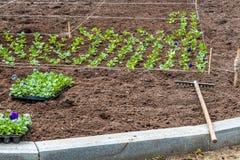 Un lavoro sulla piantatura delle piantine dei fiori variopinti viola sull'aiola e sul rastrello in un parco in primavera immagine stock