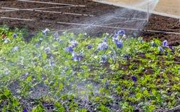 Un lavoro sulle piantine d'innaffiatura dei fiori variopinti viola sull'aiola in un parco in primavera immagini stock libere da diritti